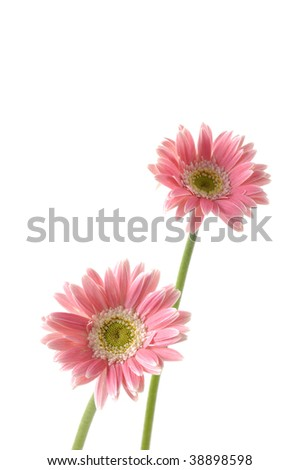 Pair of pink sunflower