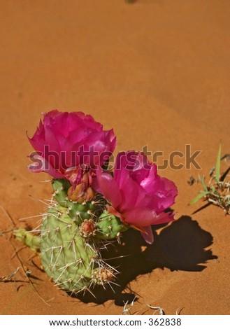 Pair of Prickly Pear Cactus Blossoms on Cedar Mesa, Utah - stock photo