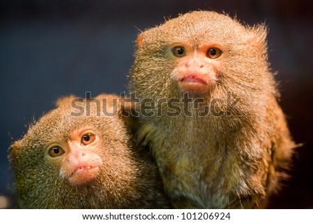 Pair of pygmy marmosets - stock photo