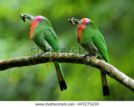 Pair of Red-bearded bee-eater (Nyctyornis amictus) beautiful parents green bird with red and pink mustache carrying insect in their long bills to feed the chicks in nest hole