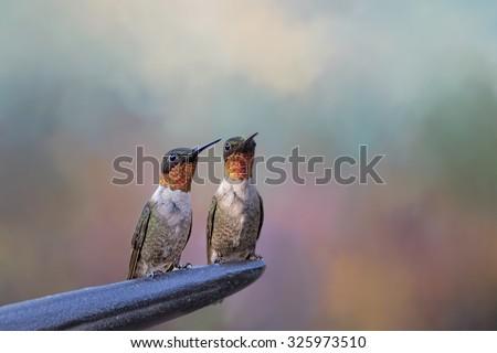Pair of Ruby Throated Hummingbirds  - stock photo