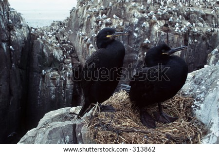 Pair of shags on the nest