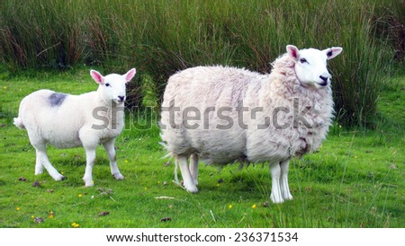 Pair of sheep in Scotch highlands - stock photo