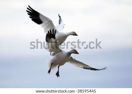 Pair of snow geese approaching a landing area against cloudy sky - stock photo