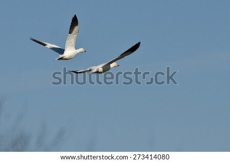 Pair of Snow Geese Flying in a Blue Sky