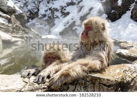Pair of snow monkeys relaxing in a natural onsen (hot spring), Jigokudani Park near Yudanaka, Japan - stock photo