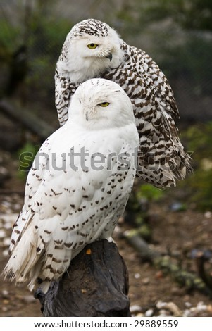 Pair of Snowy owls, male and female - stock photo
