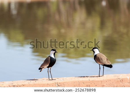 Pair of spur-winged lapwings near a lake - stock photo