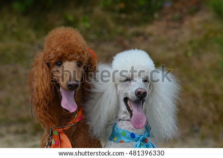 Pair of standard poodles with their tongues sticking out.