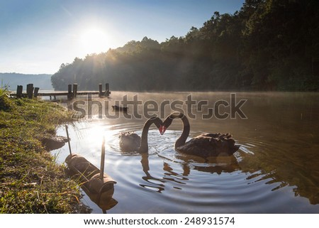 pair of swans in love floating on the water at sunrise. - stock photo