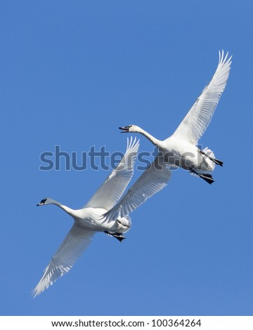 Pair of Swans with Blue Sky Background - stock photo