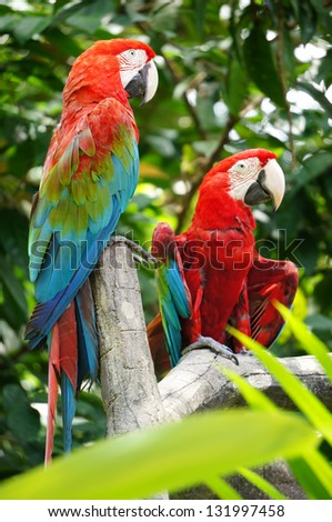 Pair of the beautiful parrots - stock photo