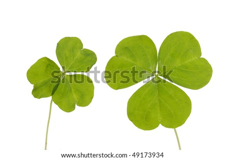 Pair of three Leaf Clover isolated on white - stock photo