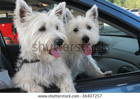 Pair of West Highland Terriers out for a drive.