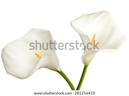 Pair of white  calla on a white background - stock photo