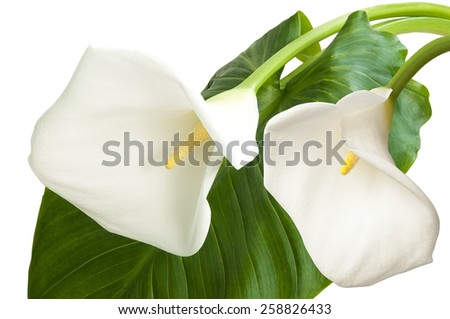 Pair of white flowers isolated on white background