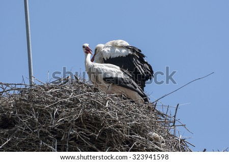 Pair of White stork, Ciconia ciconia on the nest. Photo taken in Soto del Real, Madrid, Spain