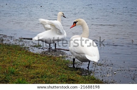 pair of white swans