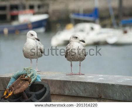 Pair of wild juvenile herring gulls larus argentatus seabird on harbour wall in english port - stock photo