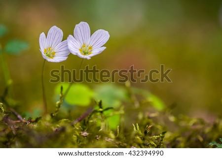 Pair of wood sorrel flowers - stock photo