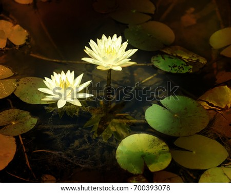 pair of yellow water lilies
