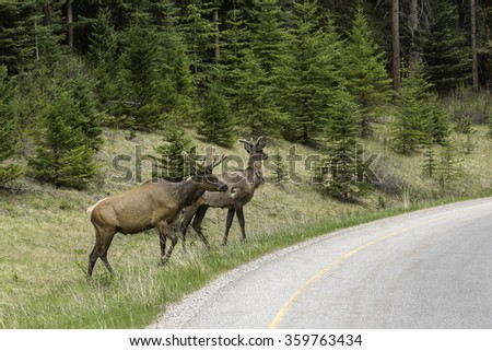 Pair of Young Bull Elk Near Road in Banff National Park, Alberta - stock photo