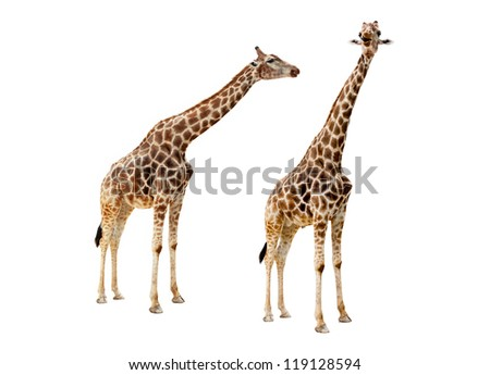 Pair of young giraffes isolated on white background - stock photo