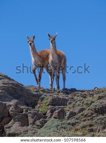 Pair of young guanakos on peak of rocky cliff