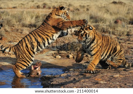 Pair of young tigers playing  - stock photo