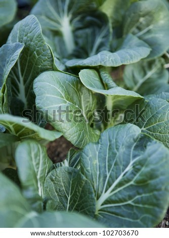 Pak Choi many leaves are still in the soil in the garden ready for harvest to eat these delicious leaves