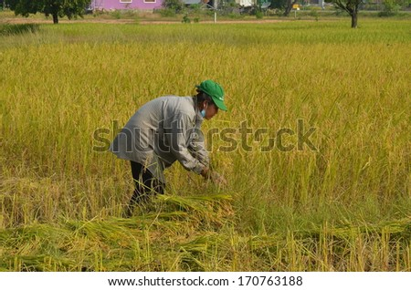 PAKSE, LAOS - CIRCA OCT 2013 - Farmers harvesting rice paddy by using sickles
