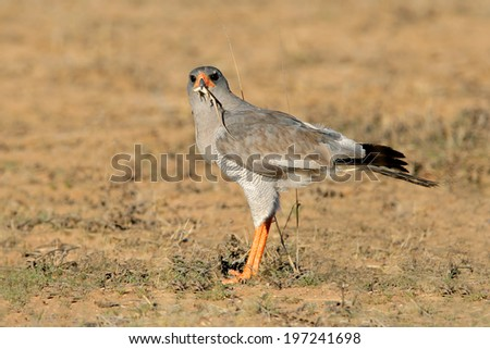 Pale Chanting goshawk (Melierax canorus) with lizard catch, South Africa  - stock photo