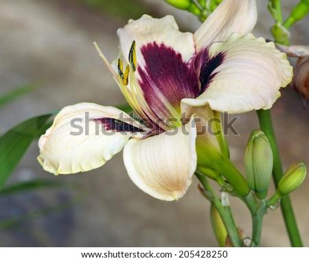 Pale cream day lily bush blossom - stock photo