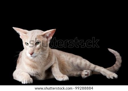 Pale oriental cat lying on black background - stock photo