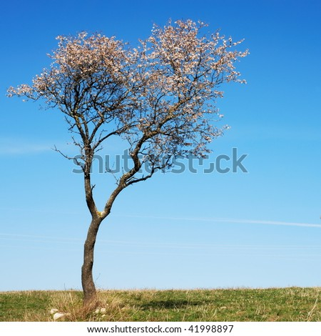 Pale pink almond bloom in springtime with blue sky - stock photo