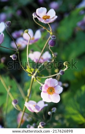 Pale pink Japanese anemone flower in bloom - stock photo