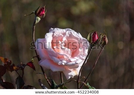 Pale pink lush rose flower in full bloom with red buds against blurred natural background. Summer garden nature scene. Close up, selective focus - stock photo