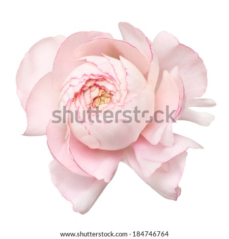 pale pink ranunculus (persian buttercup); isolated on white background - stock photo