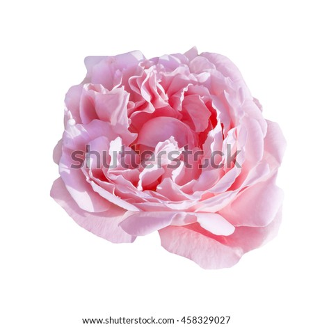 pale pink rose isolated on white background for the bouquet, or a pattern
