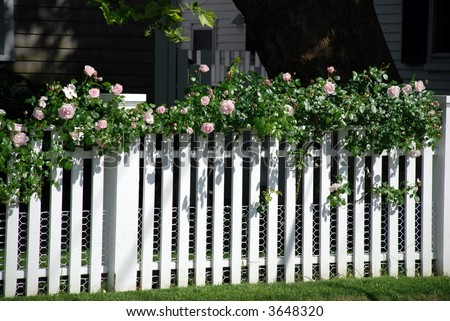 pale pink roses on a white fence - stock photo