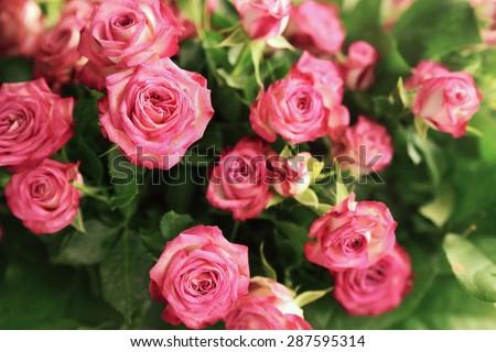 pale pink shrub roses - stock photo