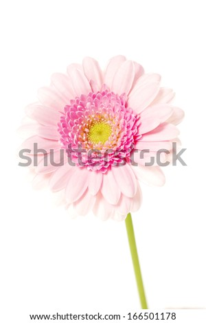 Pale pink single stem gerbera isolated on a white background - stock photo