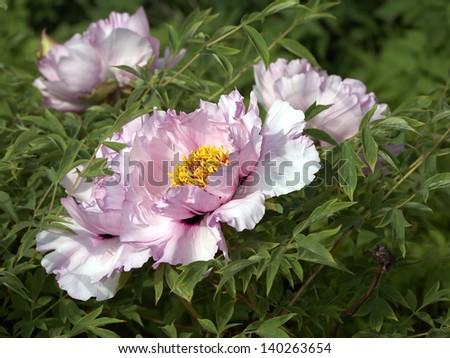 Pale pink tree peony flower - stock photo