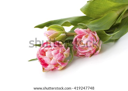 Pale pink tulips lie on the table. Studio shot on pure white background. - stock photo