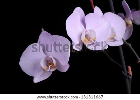 Pale purple orchid
