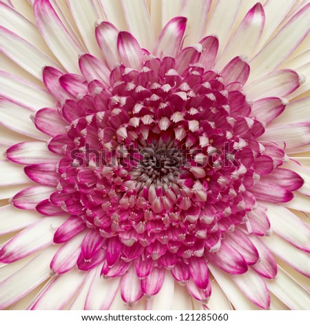pale white and violet gerber daisy, floral background - stock photo