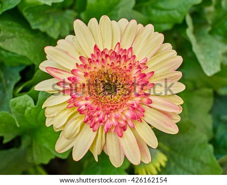 pale yellow and red Gerber daisy closeup in the garden - stock photo