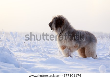 Pale yellow briard dog
