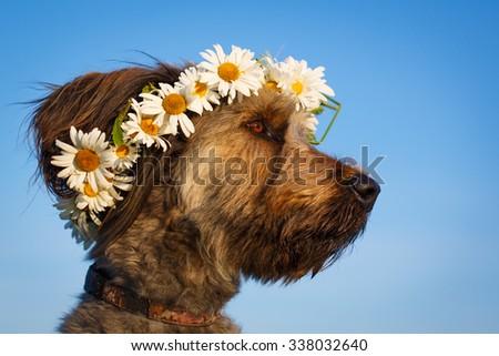 Pale yellow briard dog - stock photo