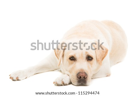 pale-yellow labrador retrieverlying on  isolated white background